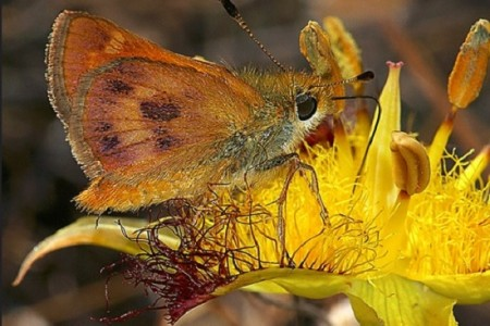 Rural skipper insect in San Luis Obispo