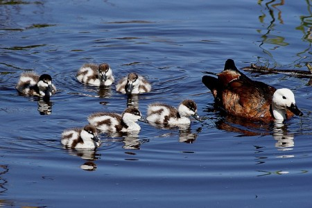 Paradise ducks swimming as a group
