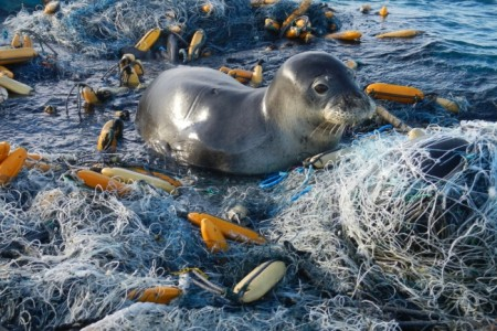 A Hawaiian monk seal amid marine pollution