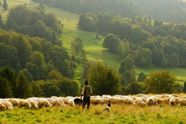 Herding sheep image
