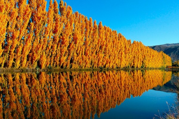 Poplar trees near water