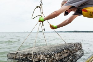 Oyster cage being lowered from boat